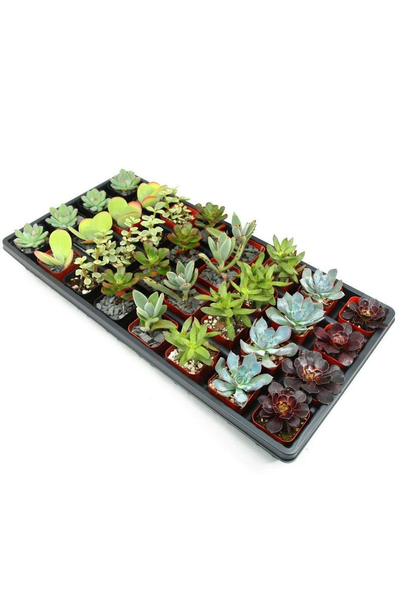 "Succulent Assorted, 2"" pot, Live Plant"