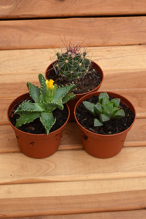 Succulent Assorted, 5 inch pot, Live Plant, Houseplant, Easy Care