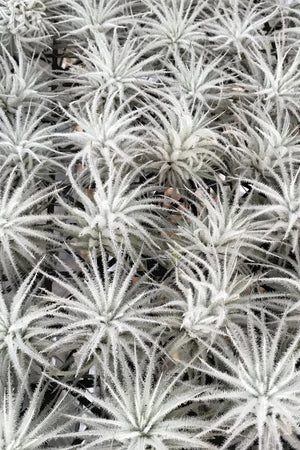 Air Plant, Tectorum (Excludes Ca, Az), Size: 1 Pack