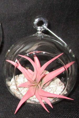 Tillandsia Air Plant Bromeliad with Tilly Globe (Cant Ship AZ CA)