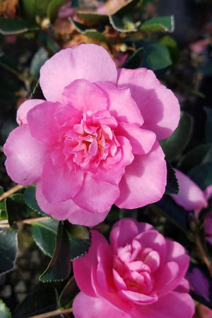 Usi Beni Camellia (ornamental, landscape, bush, green foliage, pink flower)