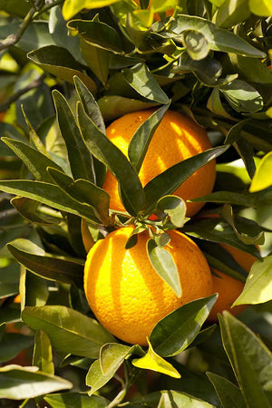 Valencia Orange Tree, Citrus (Excludes Ca, Az, La, Tx), Size: 1 Gallon CitraPot