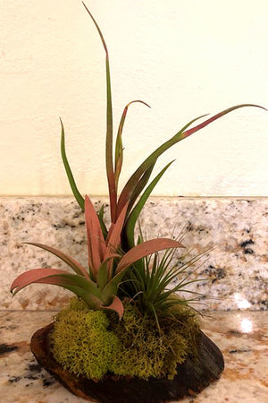 Wood Arrangement with Tillandsia Air Plant (Excludes Ca, Az) Size: 1 Planter