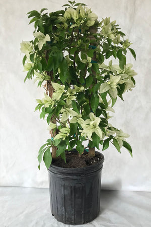 Mauna Kea White, Bougainvillea Plant (flowers, hanging basket, bush, trellis, patio tree, vine) (Stete Restrictions Apply) for $ 45.95 at Root 98 Warehouse