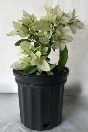 Mauna Kea White, Bougainvillea Plant (Excludes Ca, Az) Size: 2.5 Quart (Bush)