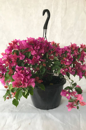 Helen Johnson, Bougainvillea Plant (flowers, hanging basket, bush, trellis, patio tree, vine)(State Restrictions Apply)