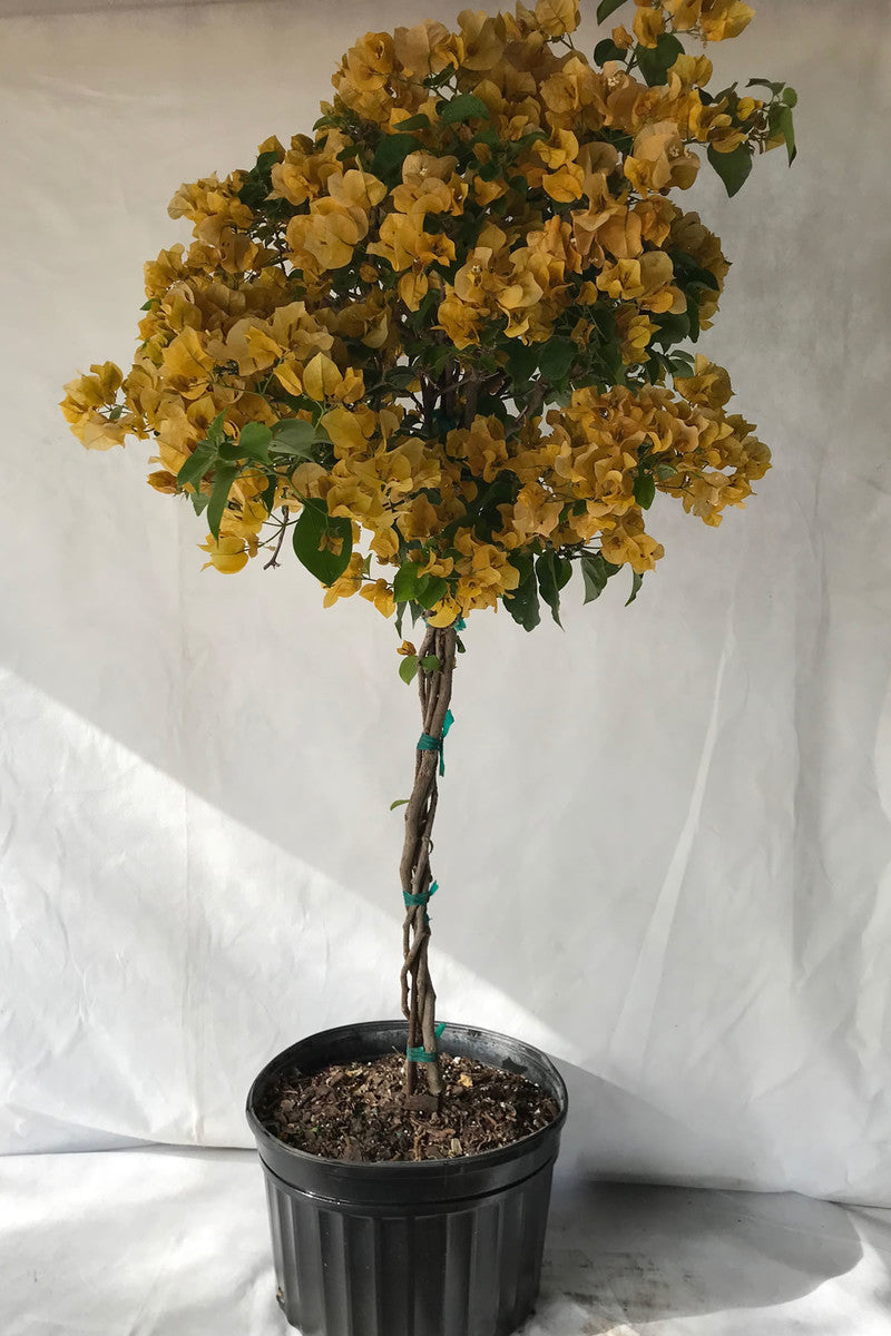 Gold Bougainvillea Plant (hanging basket, bush, trellis, patio tree, vine)
