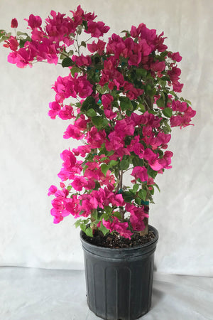 Barbara Karst Red, Bougainvillea Plant (Excludes: Ca, Az) Size: 2.5 Quart (Bush)