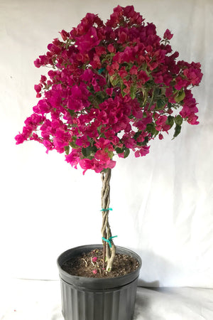 Barbara Karst Red, Bougainvillea Plant (Excludes Ca, Az) Size: 2.5 Quart (Bush)