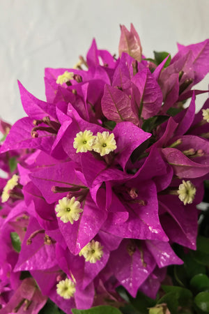 New River Purple, Bougainvillea (Excludes Ca, Az) Size: 2.5 Quart (Bush)
