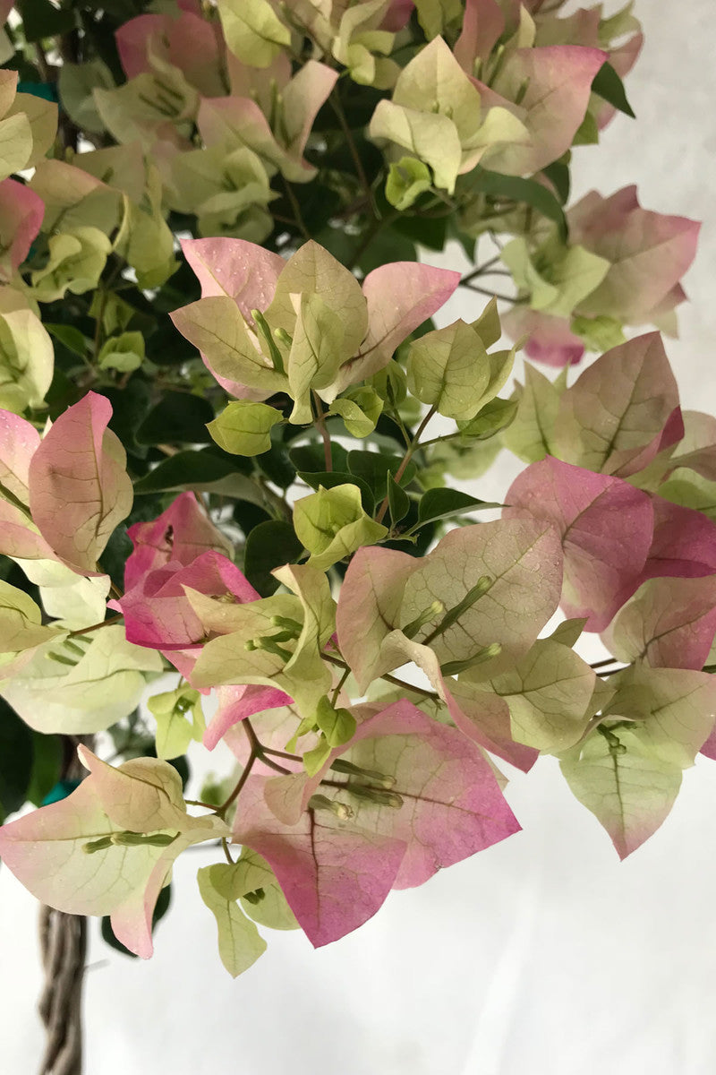 Buy Thai Delight Bougainvillea Plant Excludes Ca Az Size 2 5 Quart Bush At Root 98 Warehouse For Only 55 99