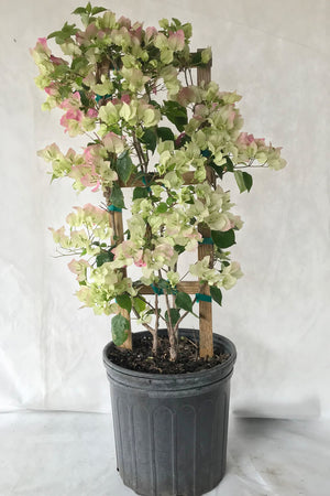 Thai Delight, Bougainvillea Plant (flowers, hanging basket, bush, trellis, patio tree, vine)(State Restrictions Apply) for $ 45.95 at Root 98 Warehouse
