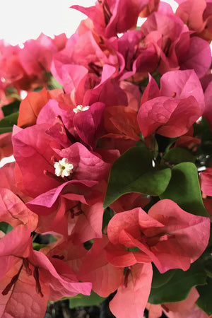Sundown Orange, Bougainvillea (Excludes Ca, Az) Size: 2.5 Quart (Bush)