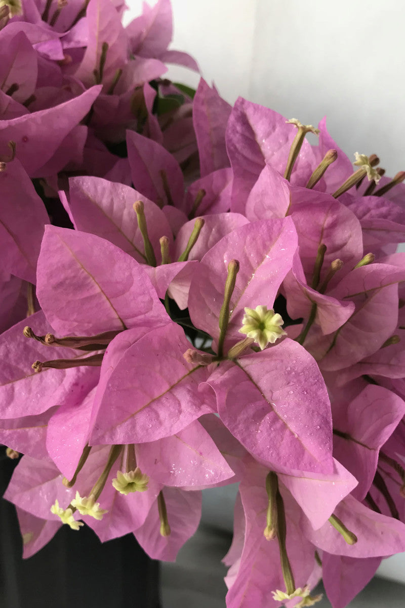Buy Silhouette Bougainvillea Plant Excludes Ca Az Size 2 5 Quart Bush At Root 98 Warehouse For Only 55 99