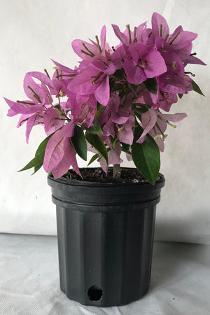 Silhouette, Bougainvillea Plant(hanging basket, bush, trellis, patio tree, vine)(State Restrictions Apply) for $ 45.95 at Root 98 Warehouse