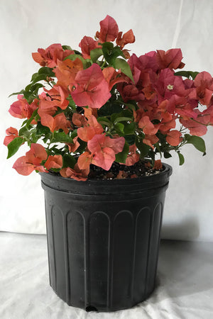 Bougainvillea Plant Assorted (Excludes Ca, Az), Size: 2.5 Quart (Bush)