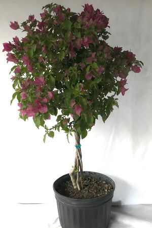 Rijnstar Pink, Bougainvillea (Excludes Ca, Az) Size: 2.5 Quart (Bush)