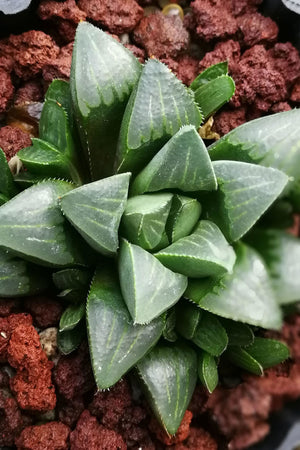 Haworthia Succulent Assortment, houseplant,(Grower's Select) (State Restrictions Apply)