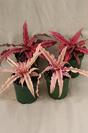Cryptanthus Earth Star Bromeliad, (Excludes: AZ, CA) for $ 29.95 at Root 98 Warehouse