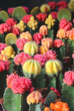 Grafted Moon Cactus, Live, Color Top, Easy to Grow (Excludes Ca, Az) Size: 4 Pack (3in pot, Live Plant)