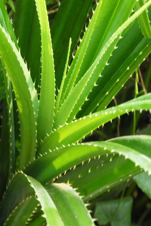 Aloe Vera Plant, Mature Indoor Succulent, Edible Medicinal Burns, Easy to Grow, 4inch pot (State Restrictions Apply) for $ 28.95 at Root 98 Warehouse