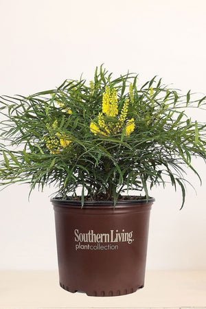 Southern Living Mahonia Soft Caress (landscape,bush,green foliage,yellow blooms) for $ 38.95 at Root 98 Warehouse