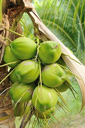 Fresh Green Water Coconuts, For Eating or Drinking, 3 Pack (Excludes:CA)