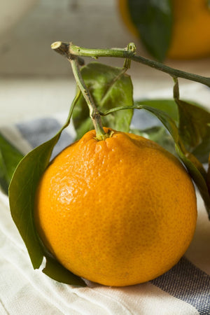 Xie Shan Tree, Satsuma Mandarin Citrus (Excludes: CA,TX,LA,AZ) for $ 49.95 at Root 98 Warehouse