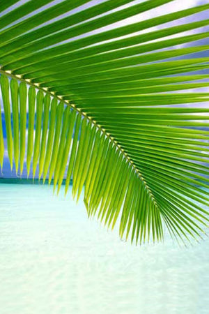 Coconut Palm Leaves (Excludes Ca), Size: 5 Pack