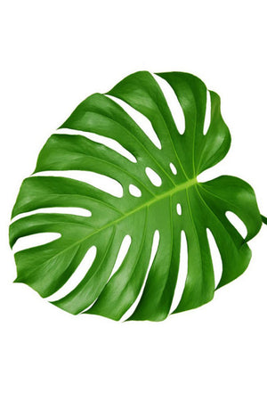 Monstera Leaves, Tropical Floral Decoration (Excludes Ca), Size: 5 Pack
