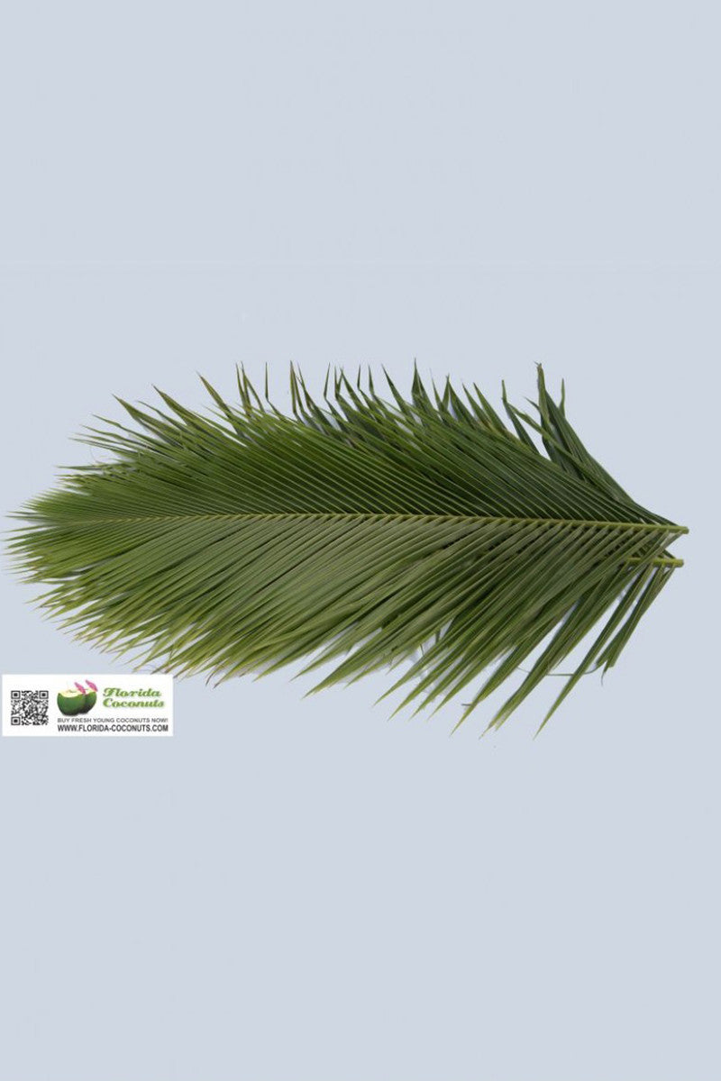 Robellini Date Palm leaves, Tropical,Decor, (Excludes: Ca) Size: 5 Pack