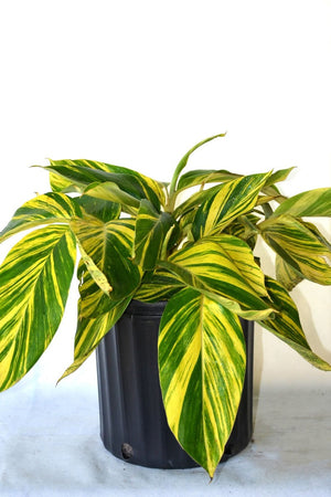 Shell Ginger, Alpinia zerumbet Variegated, 3 Gallon (Excludes: AZ, CA)
