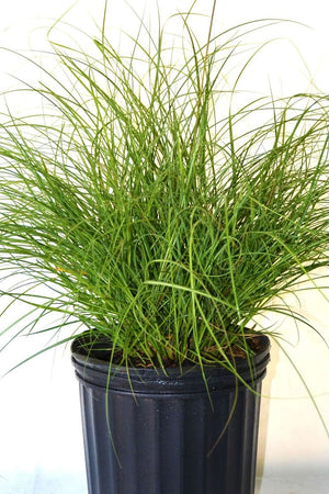 Chinese Silvergrass, Miscanthus sinensis Adagio, Eulalia Grass, Dwarf Maiden Grass, 3 Gallon (State Restrictions Apply)