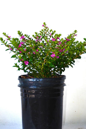 Cigar Bush, Cigar Plant, Cuphea Floriglory Diana, 1 Gallon,(Excludes: AZ, CA) for $ 35.95 at Root 98 Warehouse
