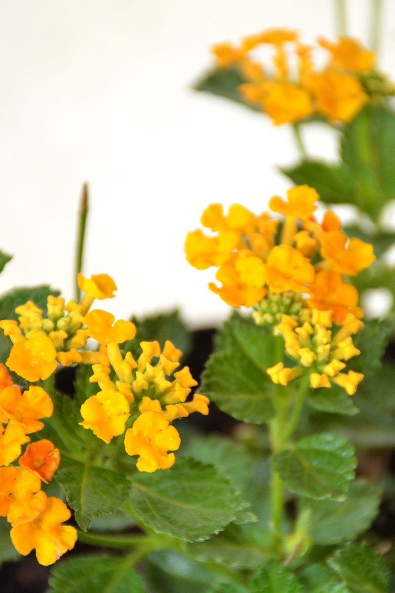 Lantana Chapel Hill Gold, Broadleaf evergreen, (Excludes AZ, AZ)