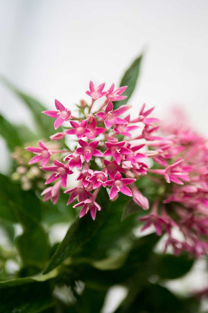 Egyptian Star Cluster, Pentas lanceolata Graffiti Pink (Excludes: CA, AZ, AK, HI, and PR)