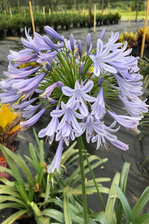 Lily of the Nile, Agapanthus Purple Cloud, African Lily (Excludes Ca, Az) Size: 3 Gallon
