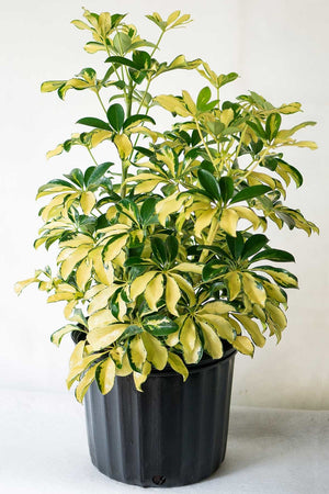 Umbrella Tree, Schefflera arboricola Trinette (Excludes Ca, Az) Size: 3 Gallon