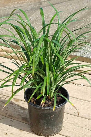 Super Blue Liriope, Liriope muscari, Semi-Evergreen Size: 2.5 Quart