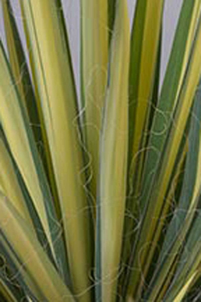 Southern Living Yucca Color Guard, Yucca filamentosa for $ 62.95 at Root 98 Warehouse