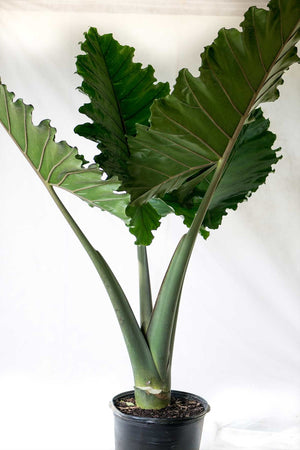 Elephant Ear, Alocasia Portadora, Tropical, (Florida Only)