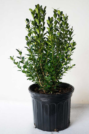 Boxwood Wintergreen (Excludes: CA, AZ, AK, HI or PR)