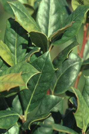 Nellie R. Stevens', Ilex, Holly, Pyramidal, (Florida Only) Size: 30 Gallon (Fl delivery)