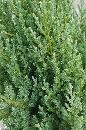 Blue Point Juniper, Evergreen, Pyramidal, Tree, Bush, Fragrant),(Florida Delivery Only-Included in Price)