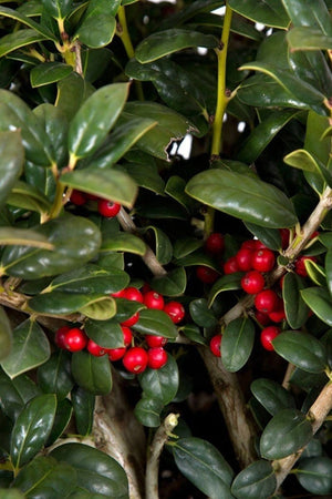 Dwarf Burfordi Holly, Ilex, (Florida Only)