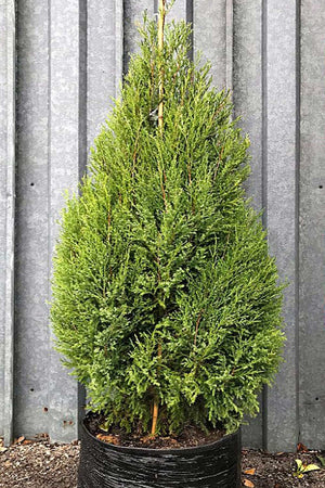 Southern Red Cedar, (Florida Only) Size: 15 Gallon (Fl delivery)