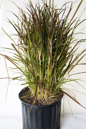 'Red Riding Hood' Fountain Grass, Pennisetum setaceum, (State Restrictions Apply)