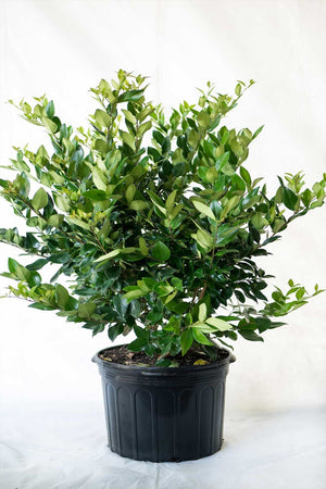 Japanese Privet, Wax Leaf Ligustrum Japonicum (State Restrictions Apply)