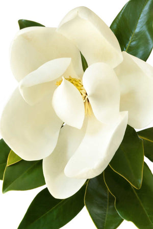 Southern Magnolia,'Little Gem', Magnolia grandiflora, Evergreen, Flowers (Florida Only) Size: 30 Gallon (Fl delivery)