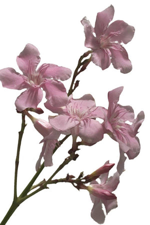 'Calypso' Oleander, Nerium oleander, Pink, Easy to Grow, 7 Gallon,(Florida Delivery Only-Included in Price)